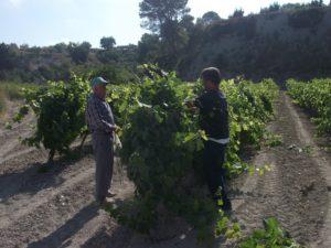 nugadors de vinya