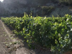 lligant vinya
