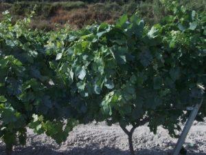 tratamiento vinyedo de caolin